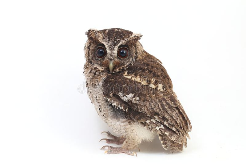 The Sunda scops owl Otus lempiji is a small brown owl that is speckled with black on the upper parts and streaked with black on. The lower parts. Isolated on stock photos