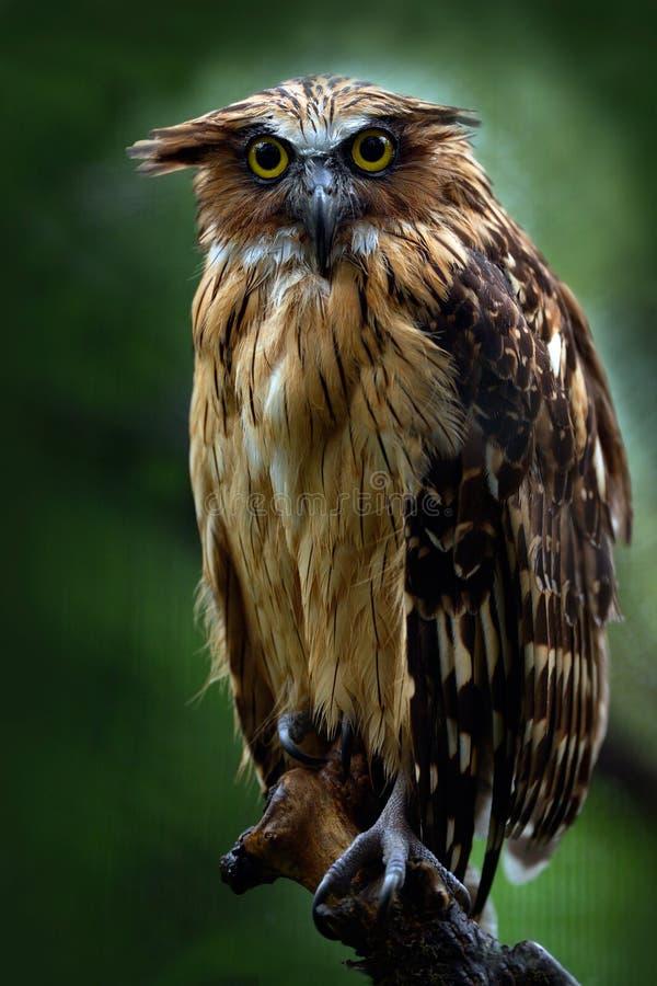 Sunda visserijuil, Ketupa-ketupujavanensis, zeldzame vogel van Azië De mooie uil van Maleisië in de aard boshabitat Vogel van M royalty-vrije stock fotografie