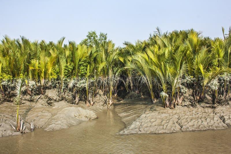 Sundarban obrazy royalty free