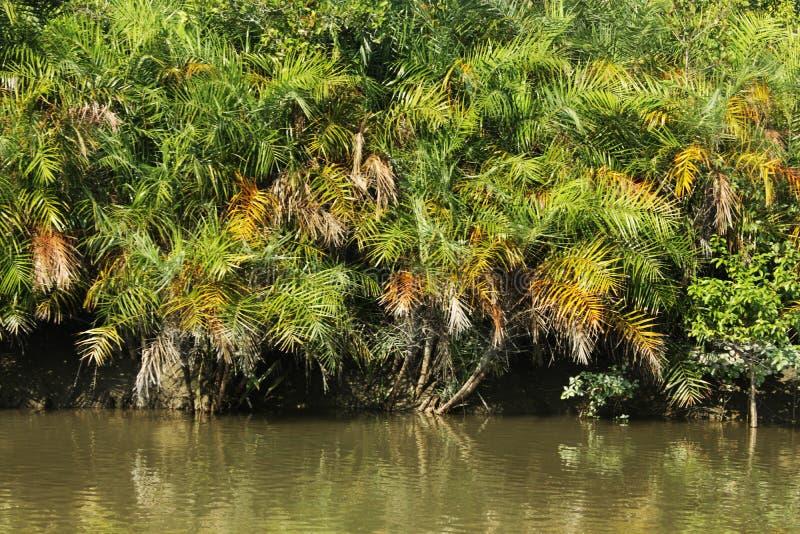 Sundarban fotografia royalty free