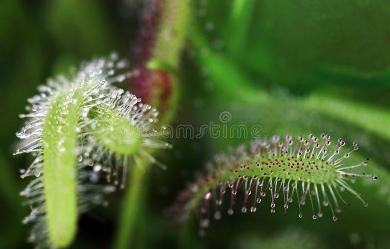 Sundew улавливает насекомых со своими липкими капельками стоковые изображения