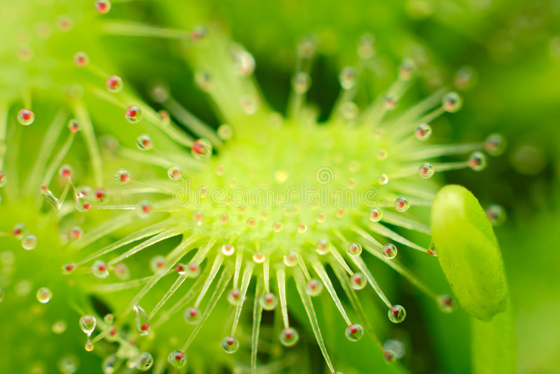 Sundew - capillaris del Drosera fotos de archivo