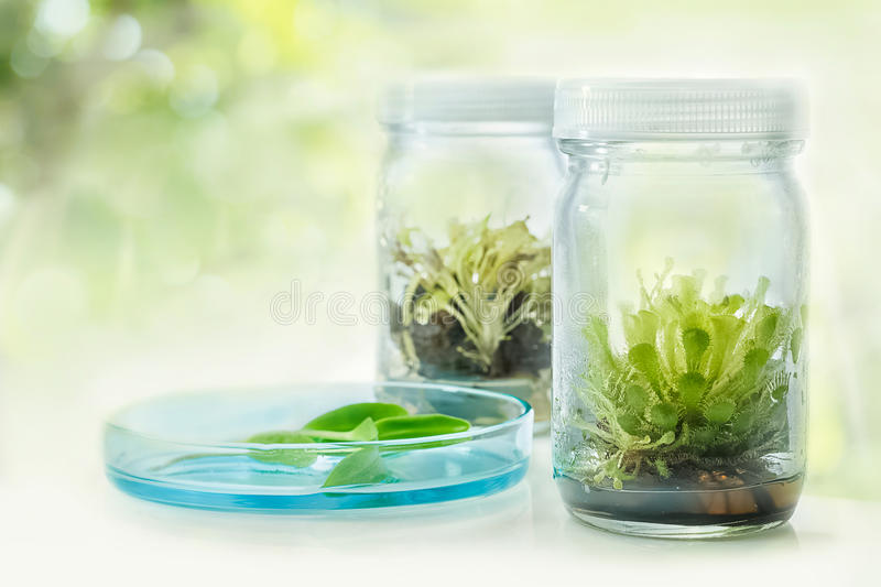 Sundew (Carnivorous Plant),Plant tissue culture in the laboratory. On white stock photo