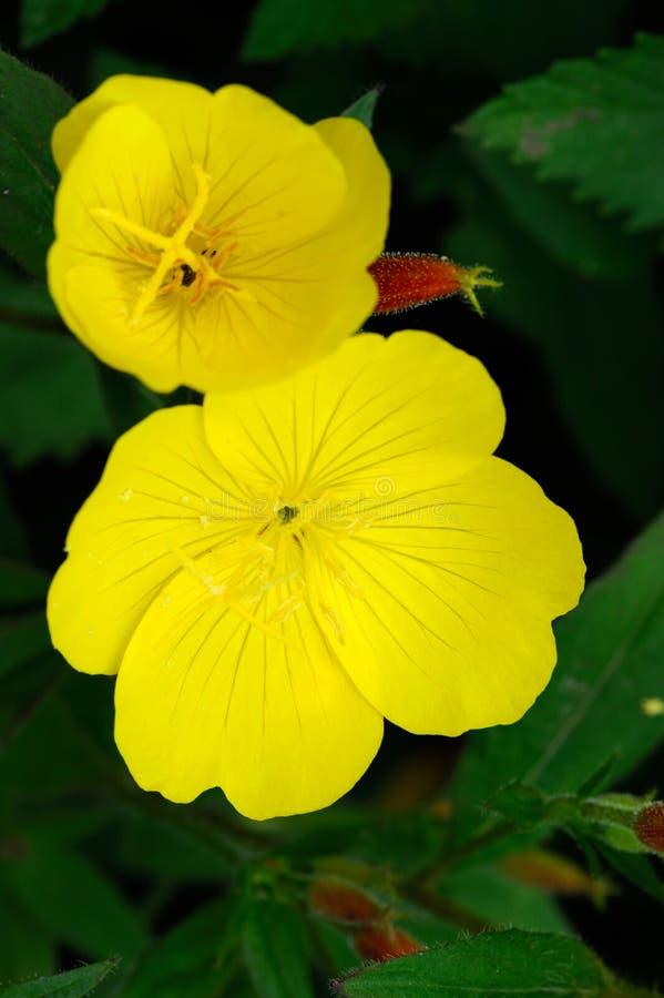 Sundrop (Oenothera) photographie stock