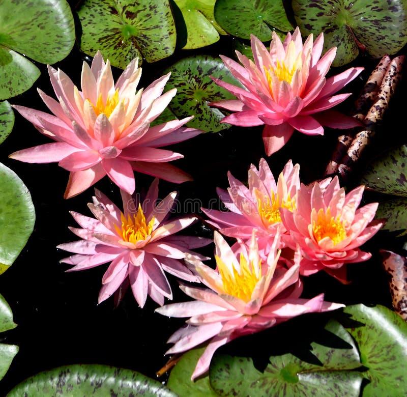Sunfire Zimnotrwały Waterlilies obrazy stock