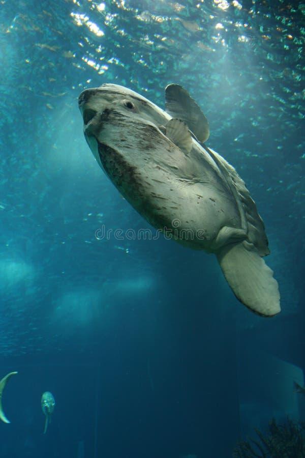 Sunfish океана стоковые изображения rf