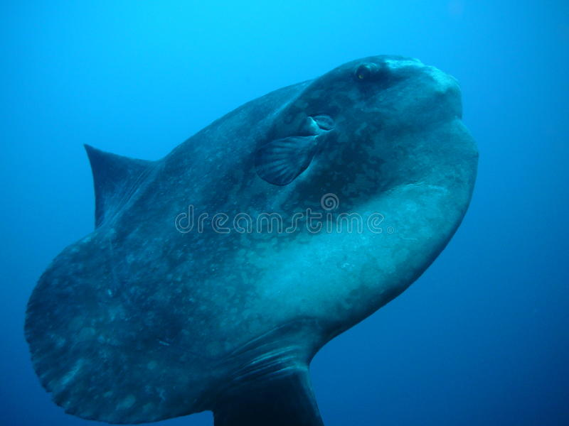 Sunfish photographie stock libre de droits