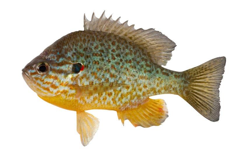 Sunfish fotos de stock