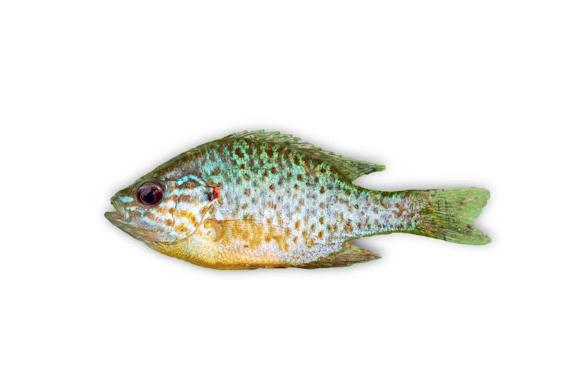 Sunfish imagem de stock