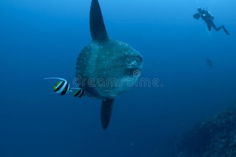 Sunfish photographie stock