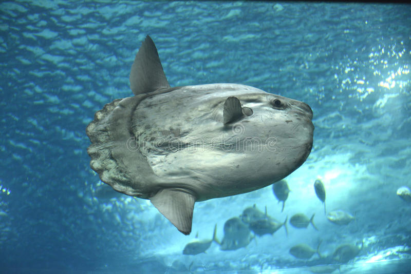 Sunfish fotografía de archivo