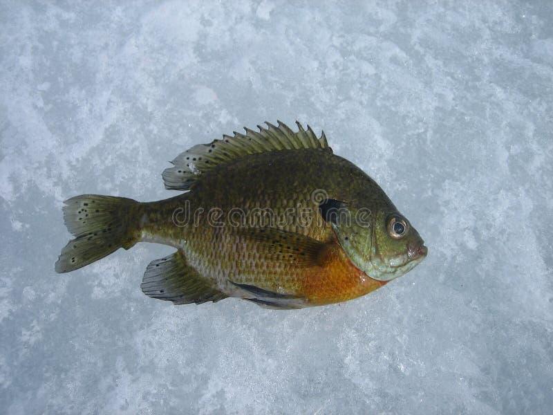 Sunfish imagen de archivo