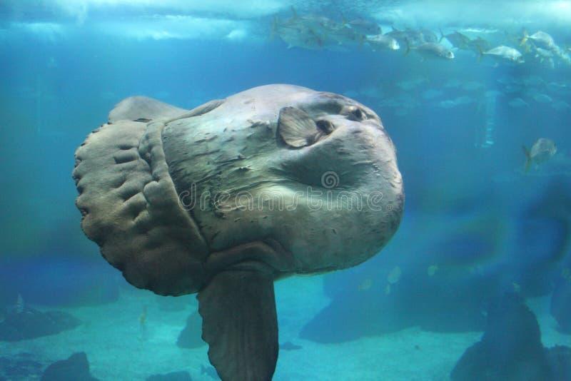 Sunfish fotografie stock libere da diritti