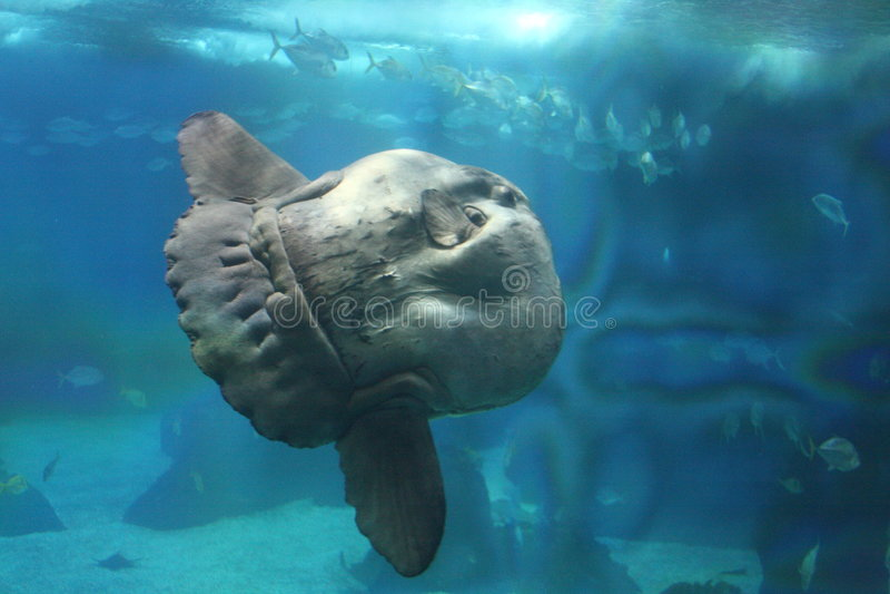 Sunfish fotografia stock