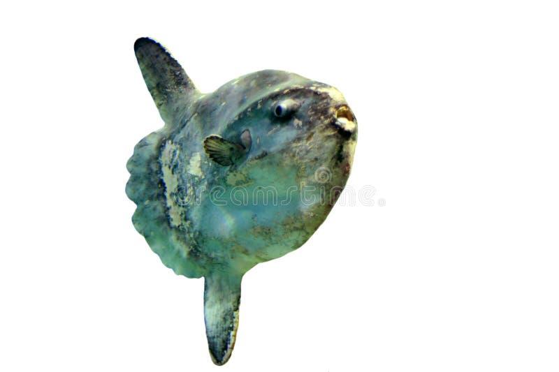 Sunfish d'océan photographie stock libre de droits