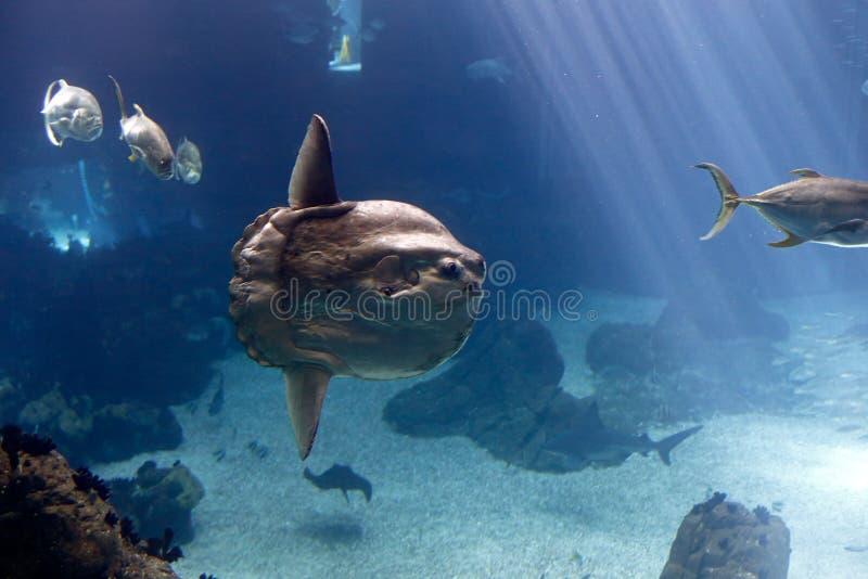 Sunfish d'océan (mola de Mola) image stock