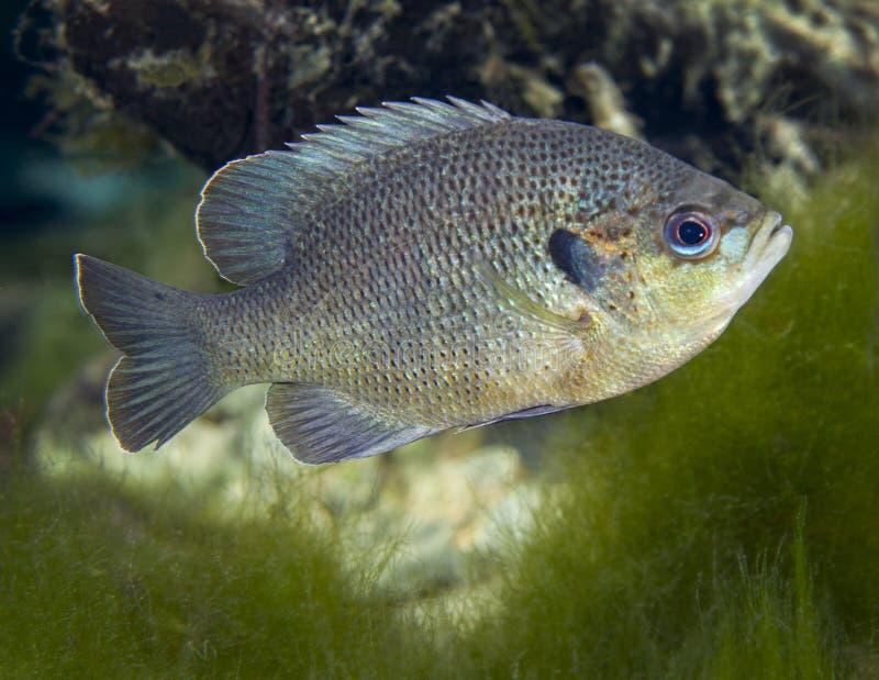 Sunfish de Blackspotted - ventilando as molas imagem de stock royalty free