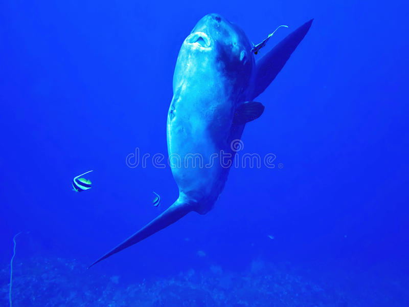 Sunfish de océano, mola de Mola, Coral Sea, Bali, Indonesia imagen de archivo libre de regalías