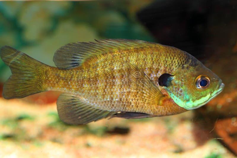 Sunfish del Lepomis macrochirus imágenes de archivo libres de regalías
