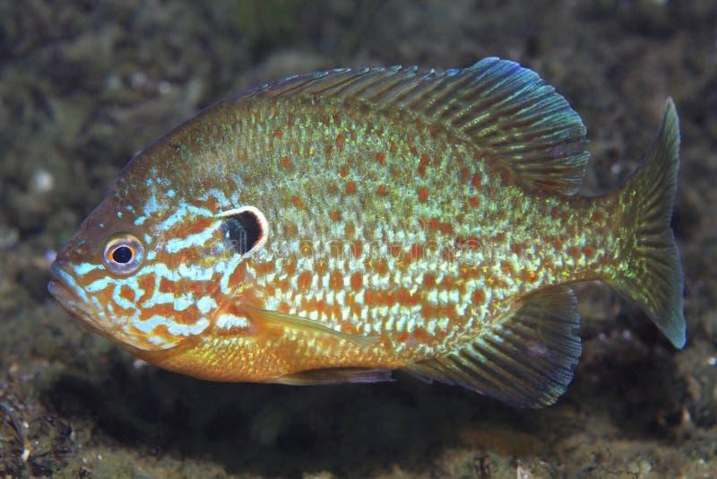 Sunfish di Pumpkinseed fotografia stock libera da diritti