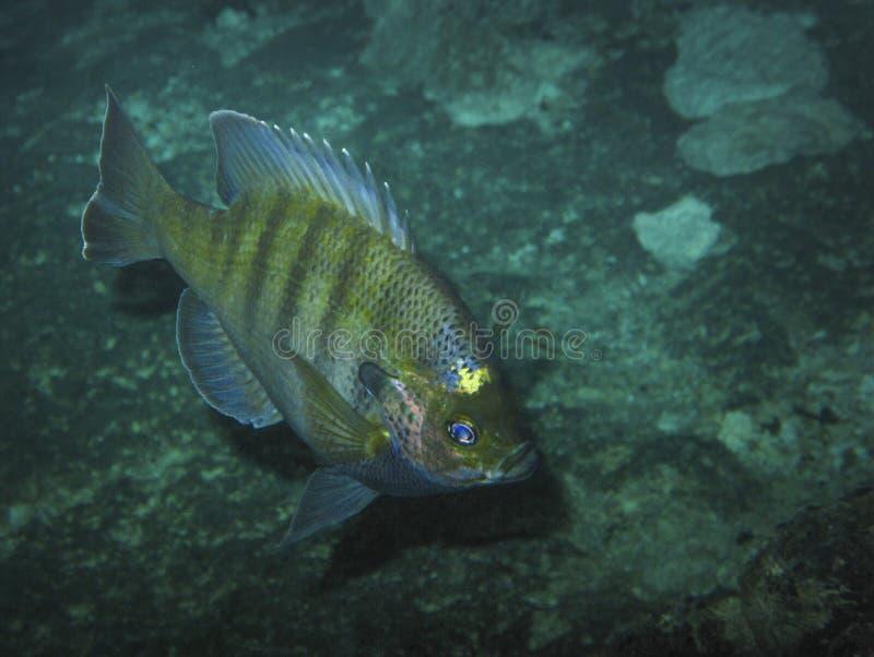 Sunfish di Redear - tana dei diavoli immagine stock libera da diritti