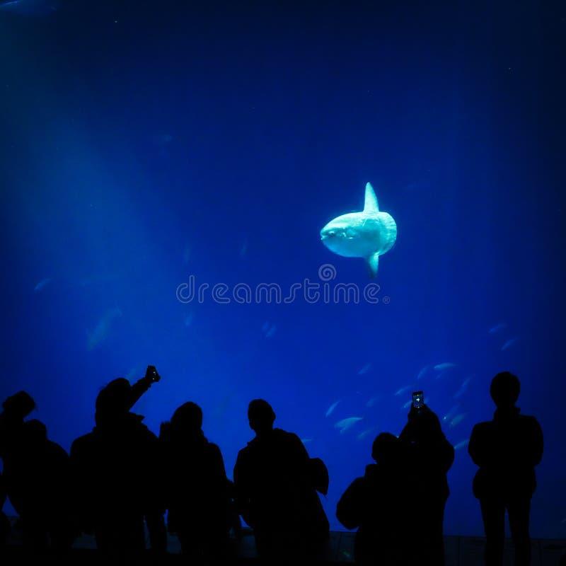 Sunfish in een aquarium met toeschouwers royalty-vrije stock afbeeldingen
