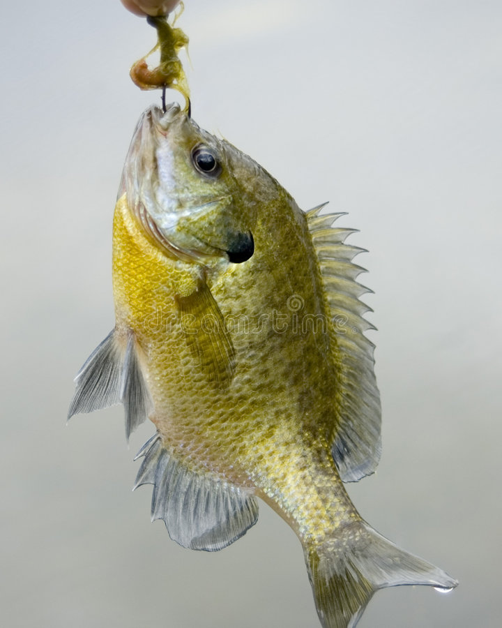 Sunfish en un gancho de leva fotos de archivo