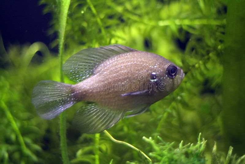 Sunfish manchado azul imagen de archivo