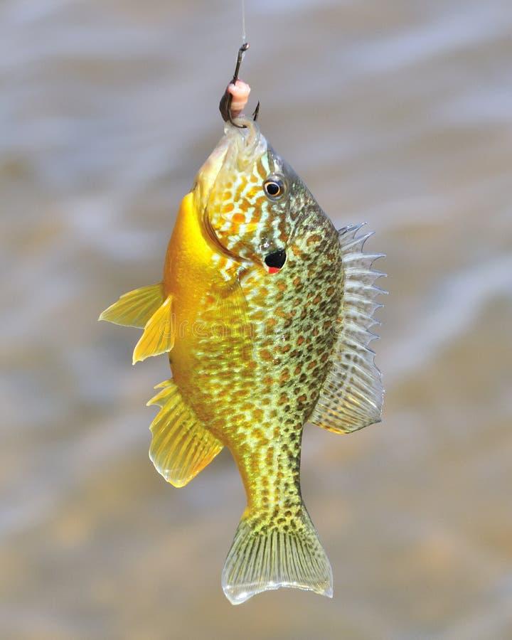 Sunfish no gancho foto de stock