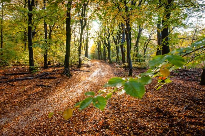 Sunflair на тропе на лесе в сезоне осени, Нидерланд стоковые фотографии rf
