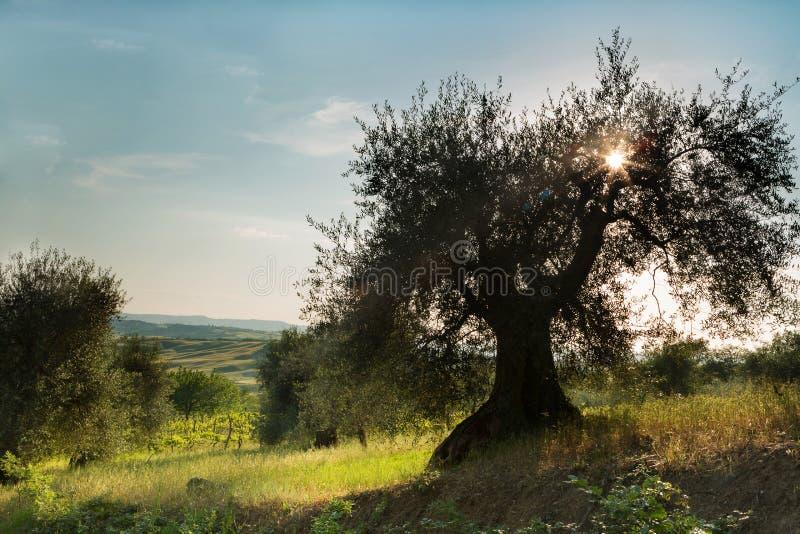 Sunflare in olijfboom royalty-vrije stock afbeelding