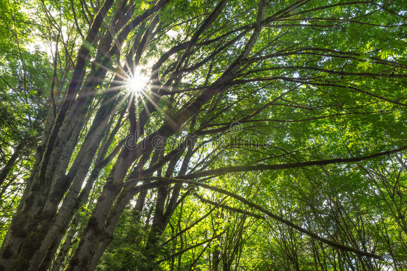 Sunflare through the trees royalty free stock images