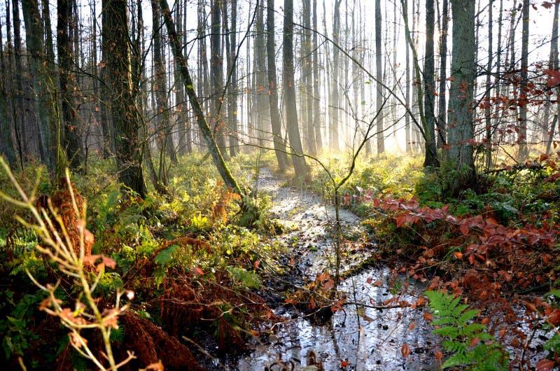 Sunflooded有薄雾的Forrest小河 免版税库存照片