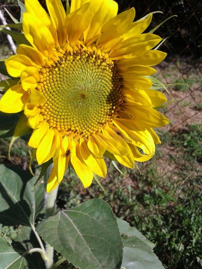 Sunflowe в саде Июнь 2018 стоковые изображения