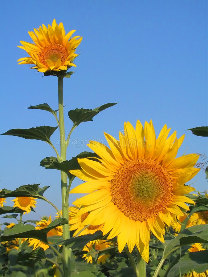 Download Sunflower Stock Photography - Image: 1152