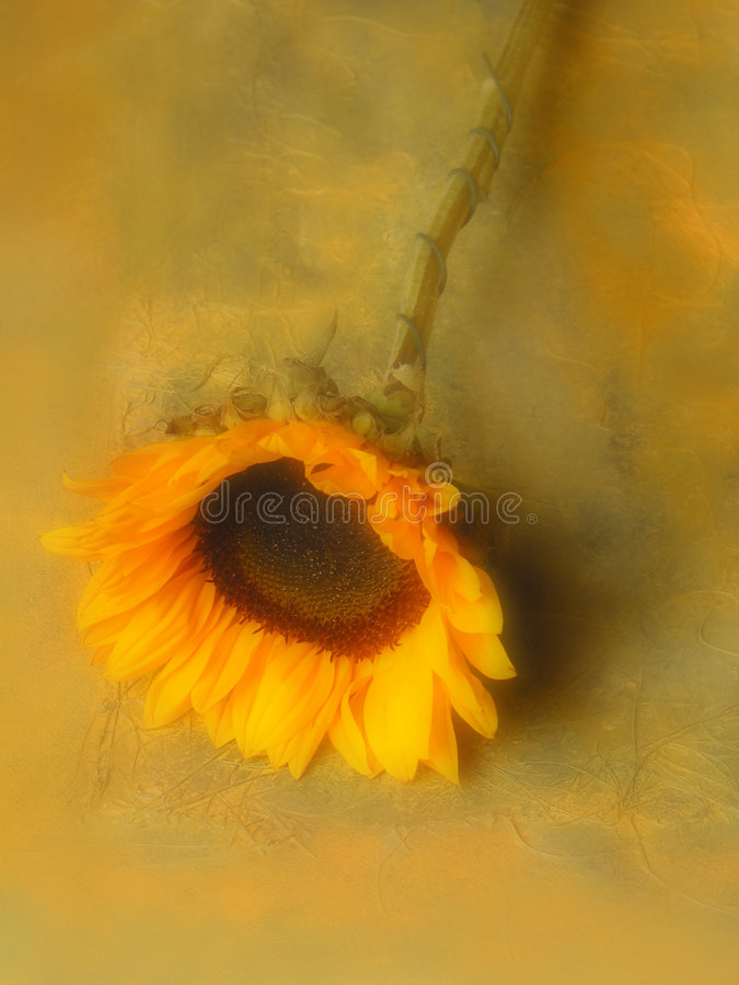 Download Sunflower. stock image. Image of still, corolla, plants, blurry - 1309