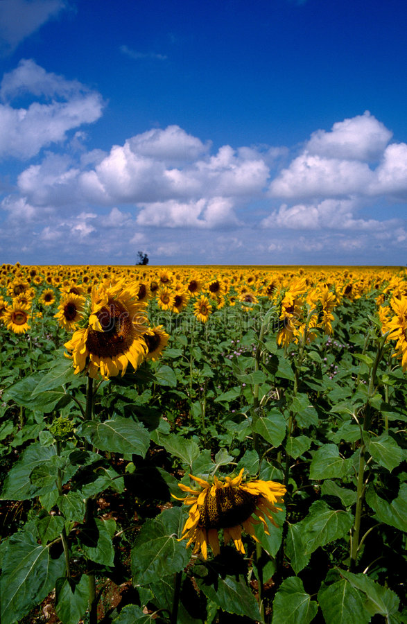Free Sunflower 1 Royalty Free Stock Images - 2128769