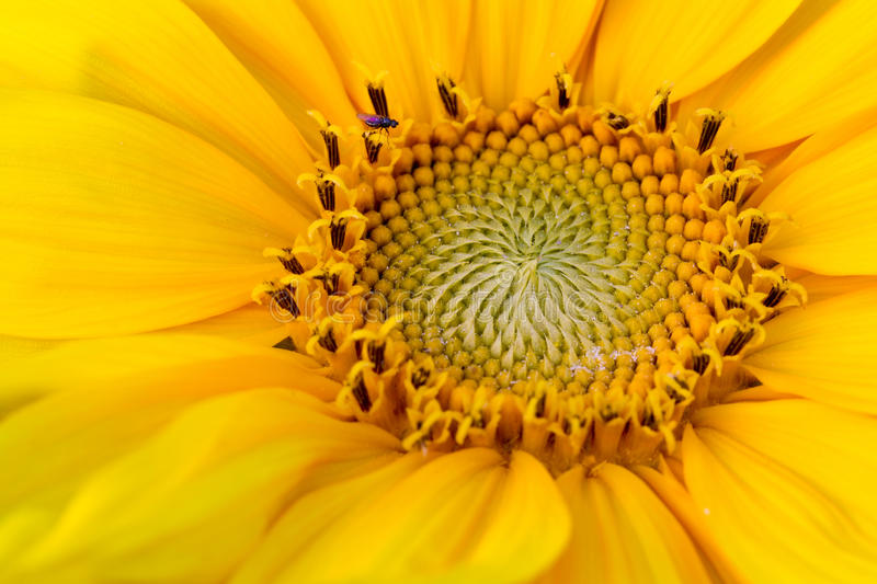 Download Sunflower stock photo. Image of nature, single, summer - 10012216