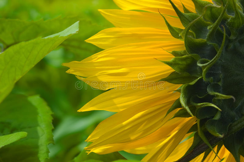Download Sunflower stock image. Image of detail, green, growing - 10038805