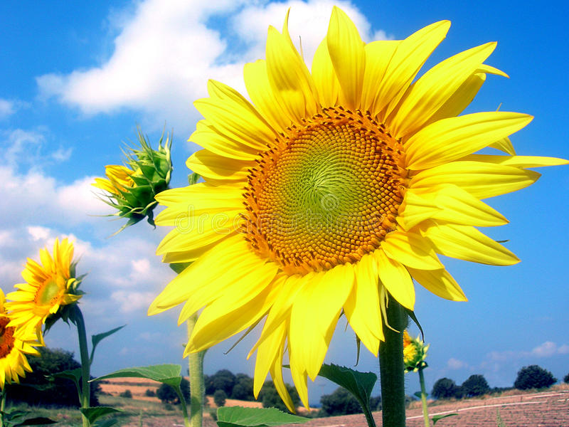 Download Sunflower stock image. Image of details, farmland, light - 10140447