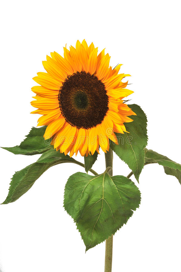 Free Sunflower Royalty Free Stock Images - 10183029