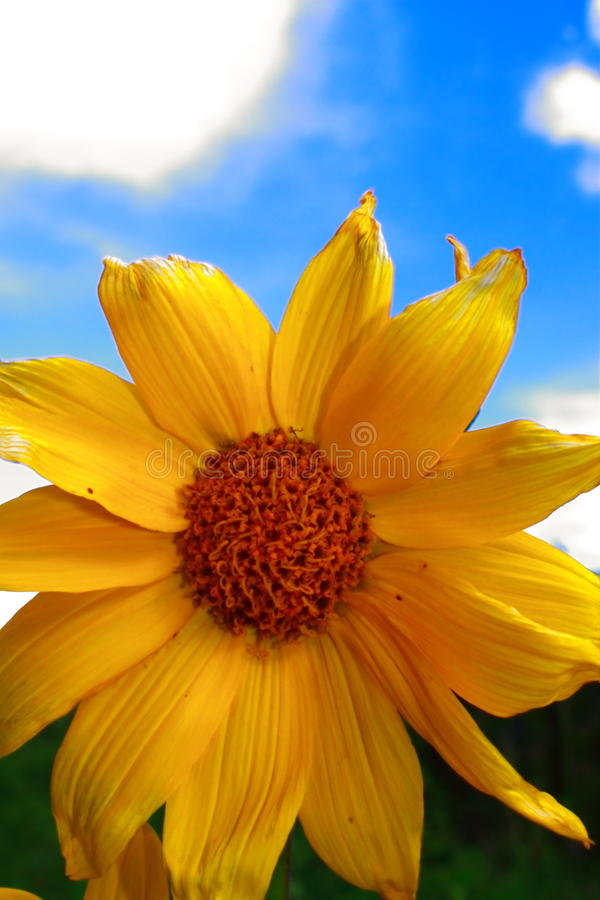 Download Sunflower stock image. Image of environment, green, flower - 10434541