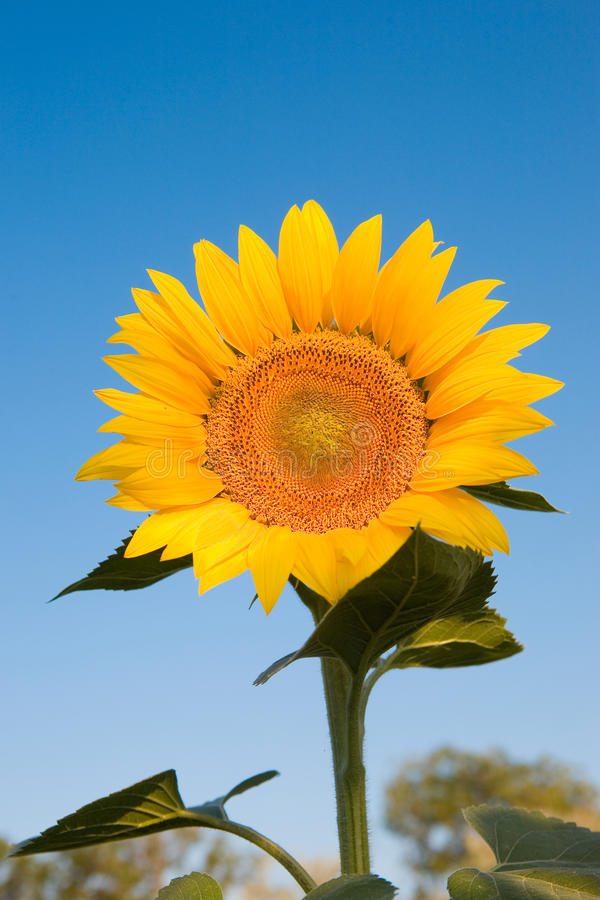 Free Sunflower Royalty Free Stock Photography - 10440857