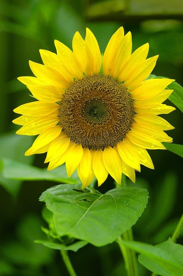 Download Sunflower stock image. Image of kansas, nature, yellow - 104765