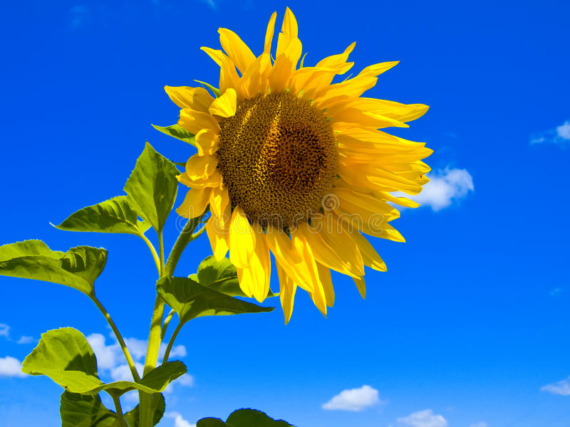 Download Sunflower stock image. Image of botany, outdoor, pair - 10655083