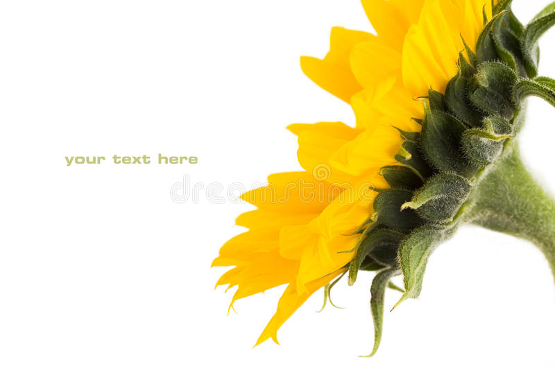 Download Sunflower stock image. Image of abstract, happy, detail - 10721333
