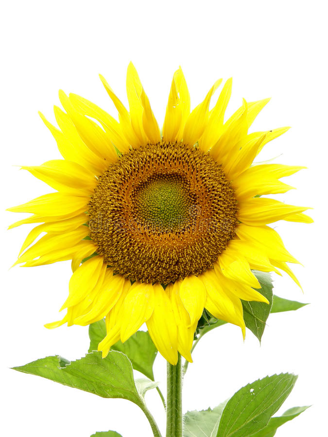 Free Sunflower Royalty Free Stock Photo - 10756785