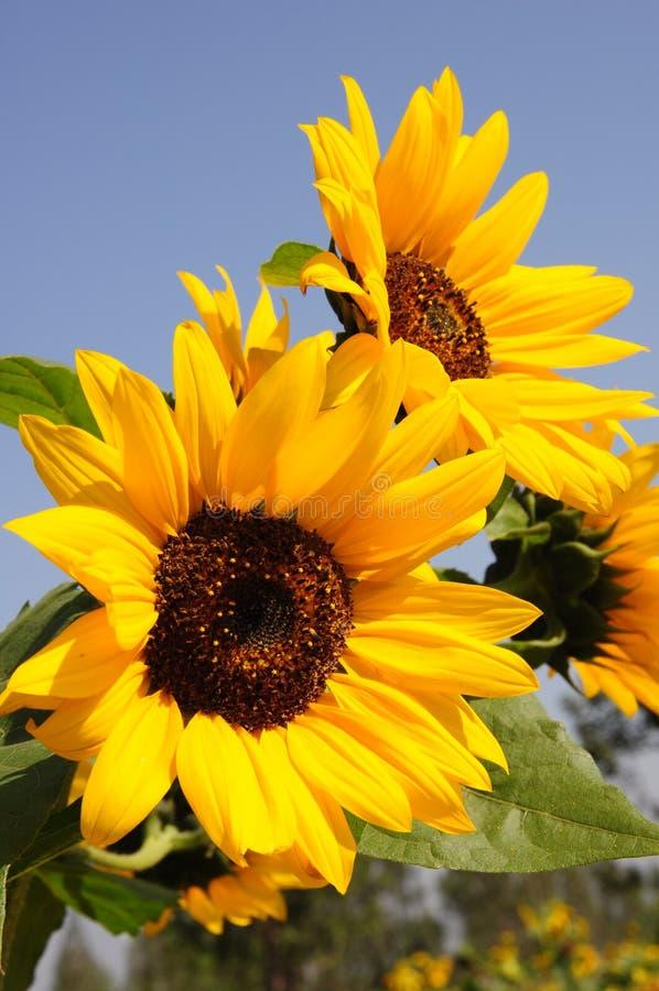 Free Sunflower Stock Photo - 11251180
