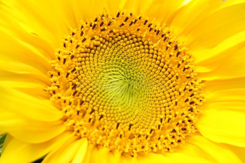 Sunflower. royalty free stock photos