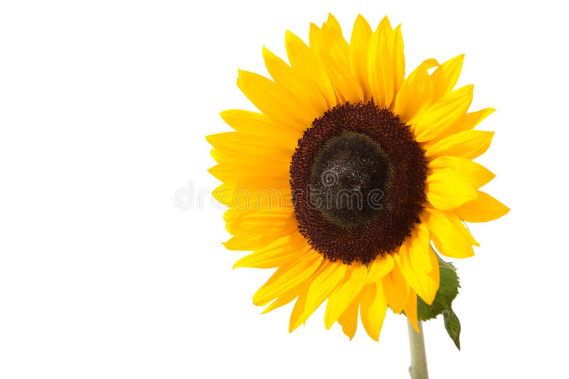 Download Sunflower stock photo. Image of light, close, outside - 11947946
